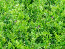 Summer Vetch – buy organic seeds online - Bingenheim Online Shop