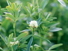 Egyptian clover – buy organic seeds online - Bingenheim Online Shop
