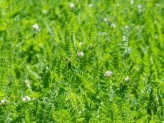 Serradella – buy organic seeds online - Bingenheim Online Shop
