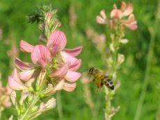 Sainfoin – buy organic seeds online - Bingenheim Online Shop