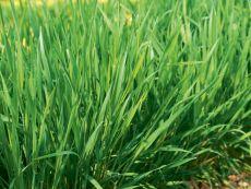 Perennial Rye – buy organic seeds online - Bingenheim Online Shop
