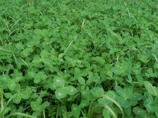 Clover Grass – buy organic seeds online - Bingenheim Online Shop