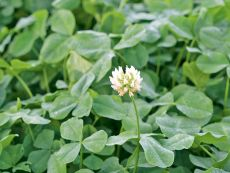 White clover, low growing – buy organic seeds online - Bingenheim Online Shop