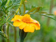 Tagetes patula for nemathode control – buy organic seeds online - Bingenheim Online Shop