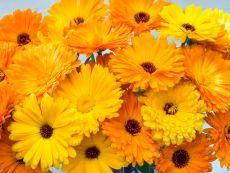 Marigold forgreen manure – buy organic seeds online - Bingenheim Online Shop