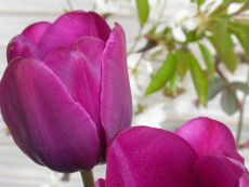 Purple Prince - Bio-Samen online kaufen - Bingenheim Biosaatgut