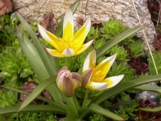 Tulipa tarda – buy organic seeds online - Bingenheim Online Shop