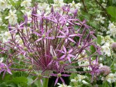 Allium christophii – buy organic seeds online - Bingenheim Online Shop