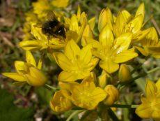 Allium moly Jeanine - Bio-Samen online kaufen - Bingenheim Biosaatgut