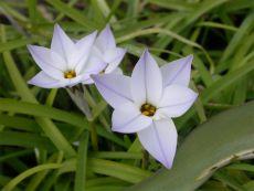 Ipheion uniflorum Whisley Blue - Bio-Samen online kaufen - Bingenheim Biosaatgut