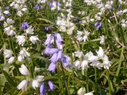Hyacinthoides hisp. Weiß – buy organic seeds online - Bingenheim Online Shop