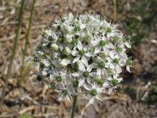 Allium Mount Everest – buy organic seeds online - Bingenheim Online Shop