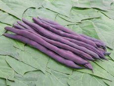 Brunhilde (Blauhilde) - Bio-Samen online kaufen - Bingenheim Biosaatgut