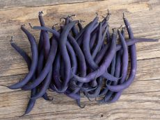 Purple Teepee - Bio-Samen online kaufen - Bingenheim Biosaatgut