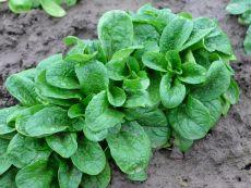 Vit - Bio-Samen online kaufen - Bingenheim Biosaatgut