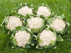 Nuage – buy organic seeds online - Bingenheim Online Shop