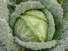 Smaragd – buy organic seeds online - Bingenheim Online Shop