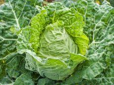 Wirsing Vorbote 3 – buy organic seeds online - Bingenheim Online Shop