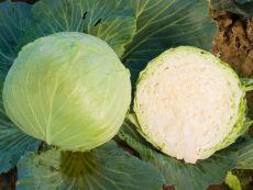 Donator - Bio-Samen online kaufen - Bingenheim Biosaatgut
