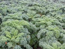 Halbhoher grüner Krauser - Bio-Samen online kaufen - Bingenheim Biosaatgut