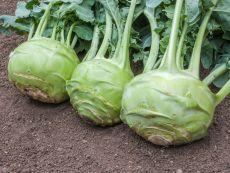 Superschmelz – buy organic seeds online - Bingenheim Online Shop