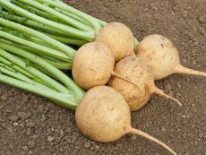 Golden Ball – buy organic seeds online - Bingenheim Online Shop
