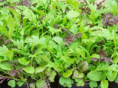 Asia-Salat-Mischung - Bio-Samen online kaufen - Bingenheim Biosaatgut