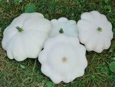 Patisson - Custard White - Bio-Samen online kaufen - Bingenheim Biosaatgut