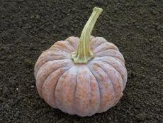 Futsu Black – buy organic seeds online - Bingenheim Online Shop
