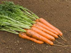 Rodelika – buy organic seeds online - Bingenheim Online Shop