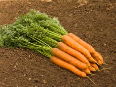 Nantaise 2/Fynn – buy organic seeds online - Bingenheim Online Shop