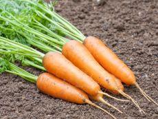 Oxhella - Bio-Samen online kaufen - Bingenheim Biosaatgut