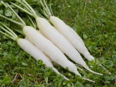 Eiszapfen - Bio-Samen online kaufen - Bingenheim Biosaatgut