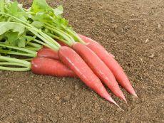 Ostergruß rosa 2 - Bio-Samen online kaufen - Bingenheim Biosaatgut