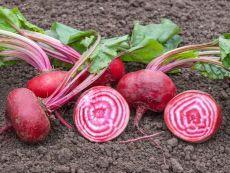 Tondo di Chioggia – buy organic seeds online - Bingenheim Online Shop
