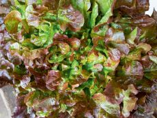 Red Salad Bowl – buy organic seeds online - Bingenheim Online Shop