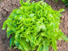 Till – buy organic seeds online - Bingenheim Online Shop