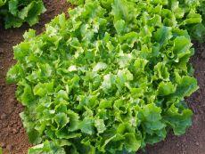 Escariol grüner - Bio-Samen online kaufen - Bingenheim Biosaatgut