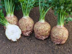 Ibis - Bio-Samen online kaufen - Bingenheim Biosaatgut