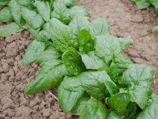 Winterriesen/Verdil - Bio-Samen online kaufen - Bingenheim Biosaatgut