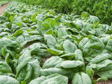 Gammason - Bio-Samen online kaufen - Bingenheim Biosaatgut