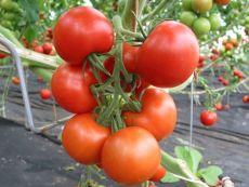 Tica - Bio-Samen online kaufen - Bingenheim Biosaatgut