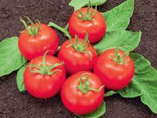 Matina - Bio-Samen online kaufen - Bingenheim Biosaatgut