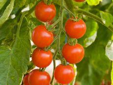 Zuckertraube - Bio-Samen online kaufen - Bingenheim Biosaatgut