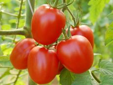 Quadro - Bio-Samen online kaufen - Bingenheim Biosaatgut