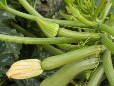 Alberello - Bio-Samen online kaufen - Bingenheim Biosaatgut