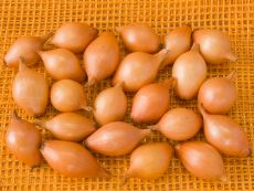 Sturon 10 - 21 mm – buy organic seeds online - Bingenheim Online Shop