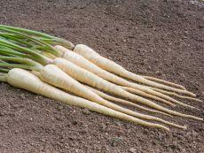 White Gem – buy organic seeds online - Bingenheim Online Shop