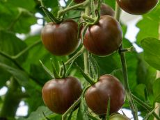 Black Cherry – buy organic seeds online - Bingenheim Online Shop