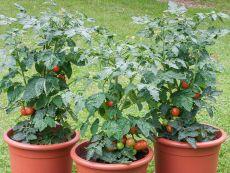 Bogus Fruchta (AS) - Bio-Samen online kaufen - Bingenheim Biosaatgut